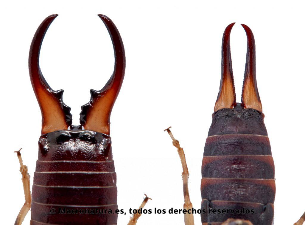 Comparativa entre las pinzas apéndice de un macho y una hembra de una  Tijereta Común Forficula auricularia