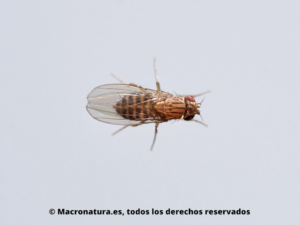 Vista cenital de una Mosca del vinagre Drosophila melanogaster en un fondo blanco