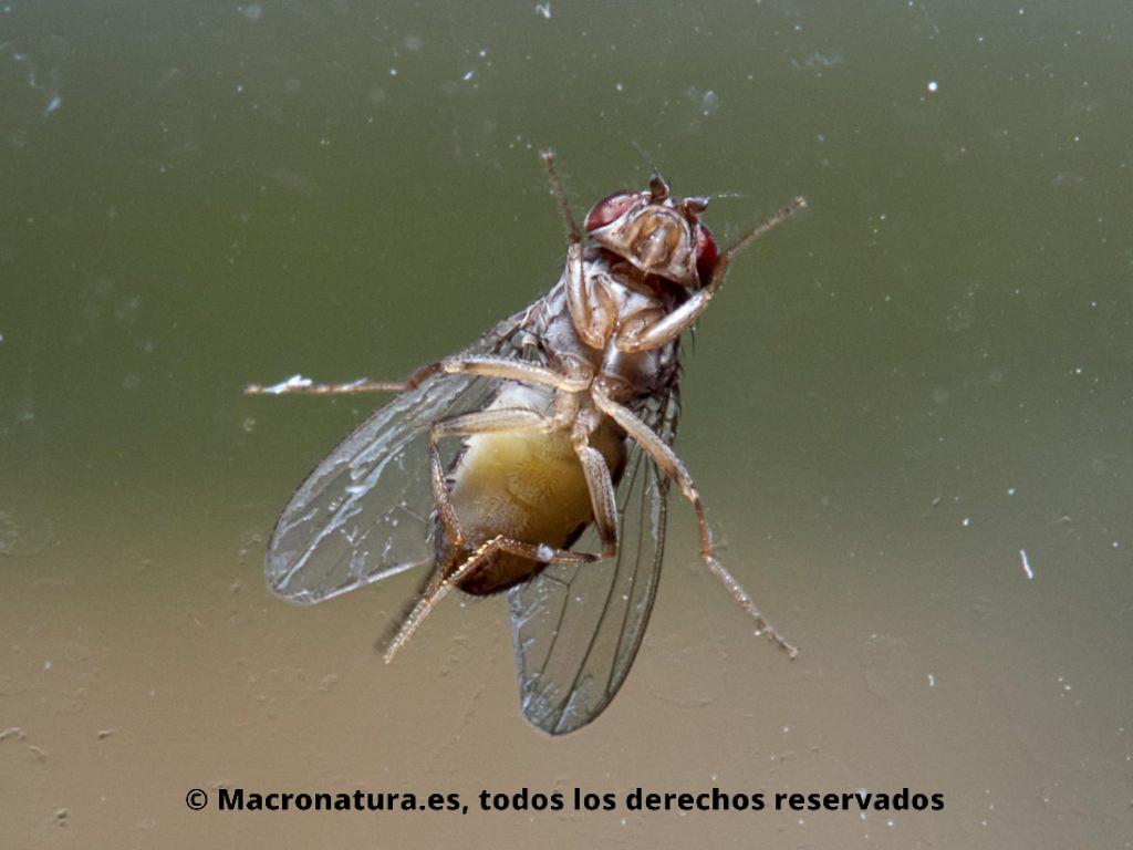 Una Mosca del vinagre Drosophila melanogaster sobre una ventana. Se observa la parte inferior del cuerpo