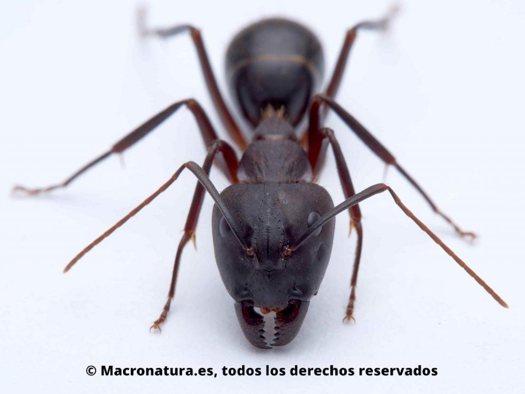 Hormiga Camponotus pilicornis sobre un fondo blanco, detalle de cuerpo, vista de frente, cabeza, patas, antenas