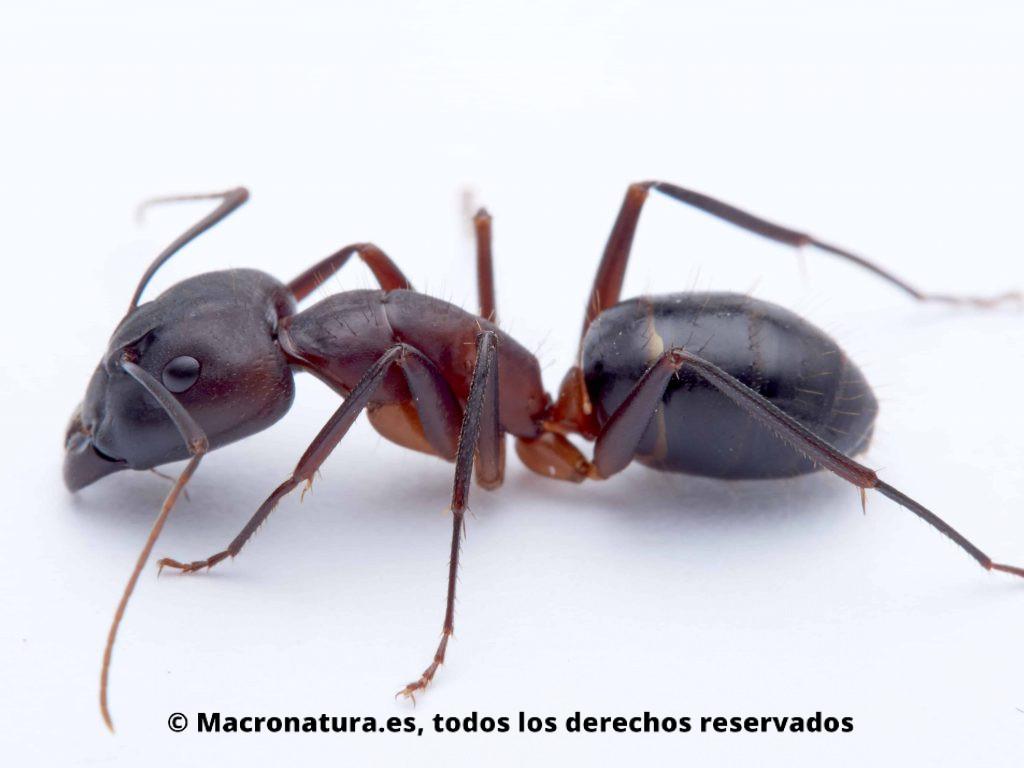 Hormiga Camponotus pilicornis sobre un fondo blanco, detalle de cuerpo, posición lateral, cabeza, patas, antenas