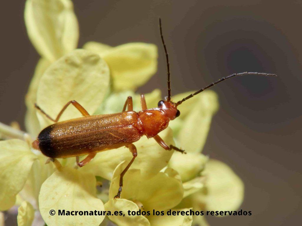Escarabajo Coracero Rhagonycha fulva sobre una flor. Detalle del cuerpo.
