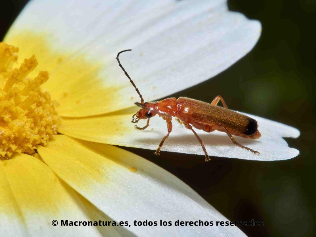 Escarabajo Coracero Rhagonycha fulva sobre una margarita. Posición lateral .