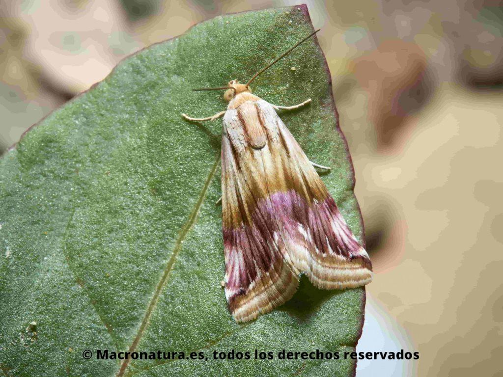 Una polilla nocturna Eublemma ostrina sobre una planta.