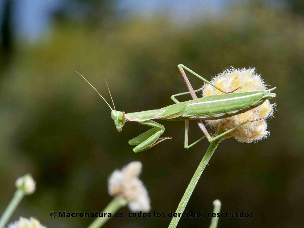 Mantis Ameles Picteti sobre una planta. Detalle del linea blanca en el abdomen