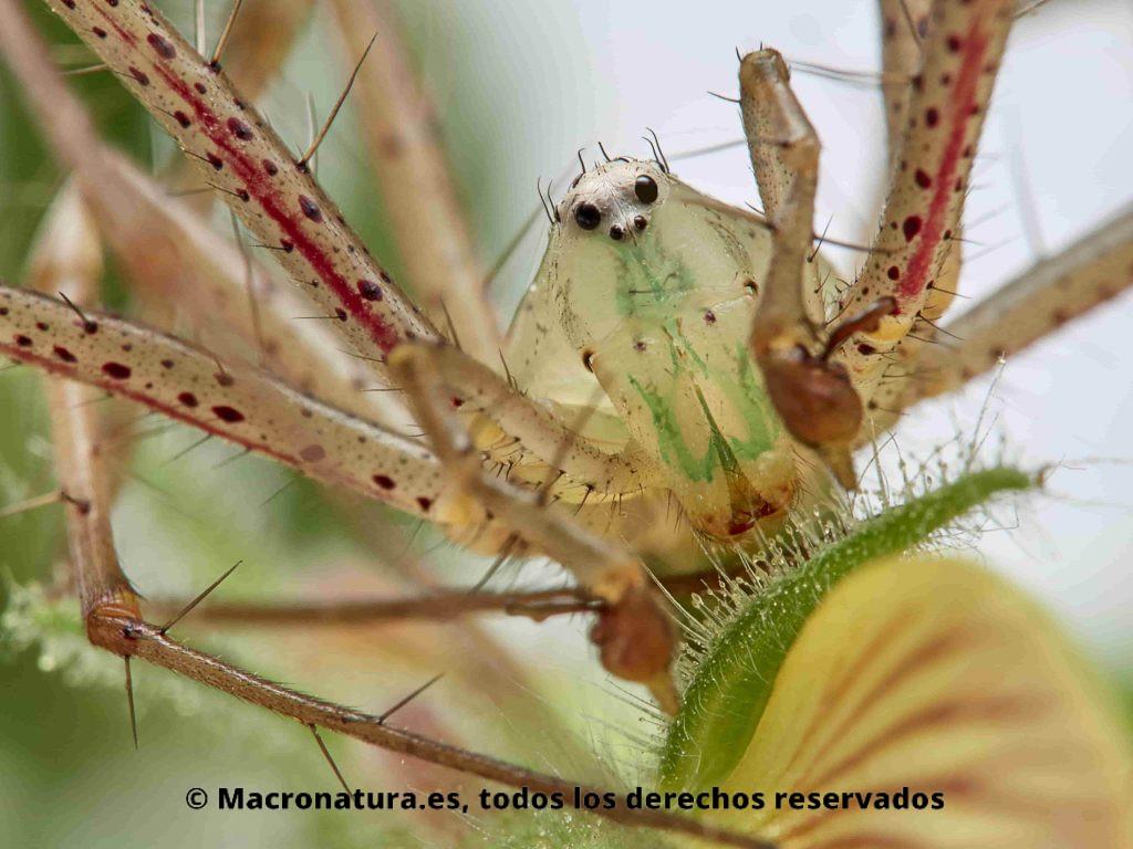 Primer plano de una Araña Lince Peucetia Viridis sobre una planta de pegamoscas, Ononis natrix