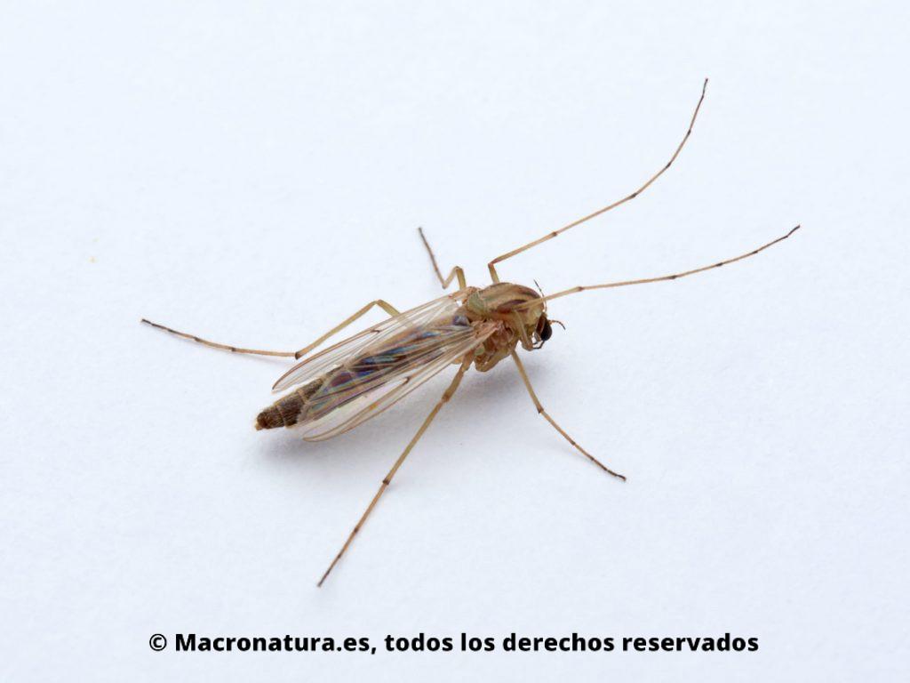 Mosquito Chironomus plumosus posición lateral. Se observan largas patas