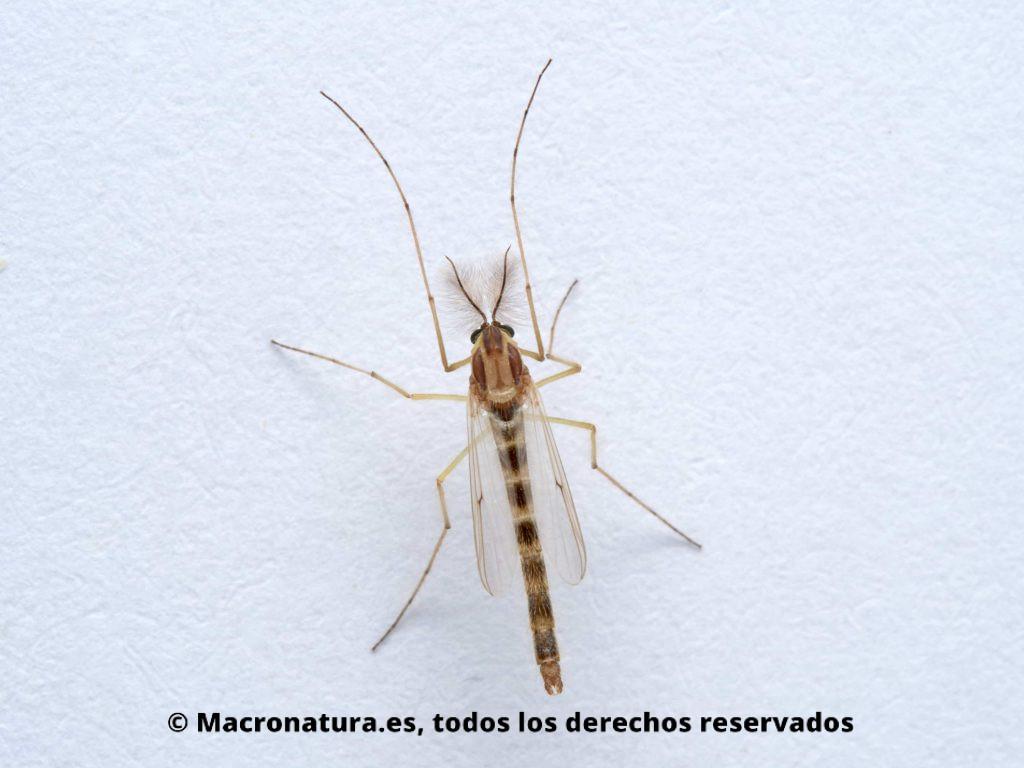 Mosquito Chironomus plumosus macho. Se observan las antenas plumosas.