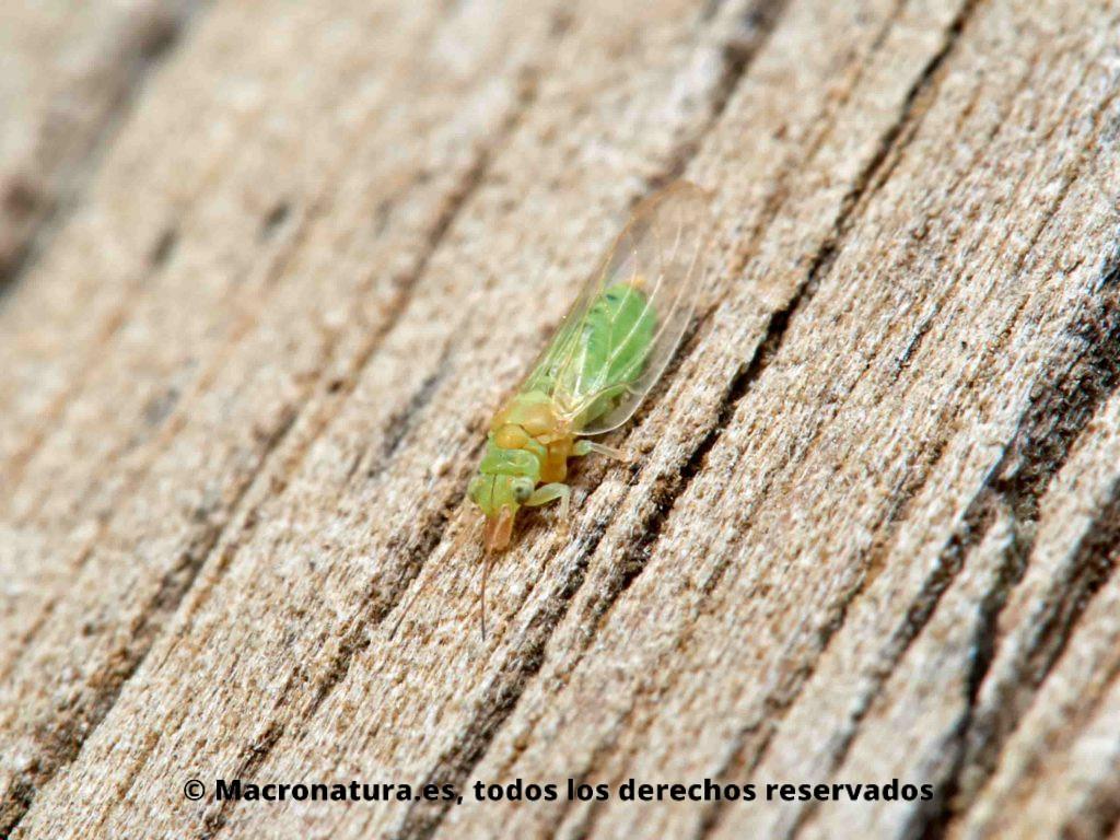 Psílido rojo del eucalipto Glycaspis briblecombei en fase adulta