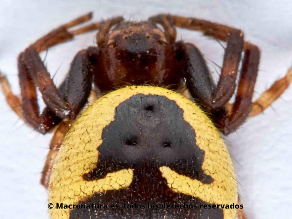 Silueta de Napoleón en el abdomen de Araña Napoleón Synema globosum