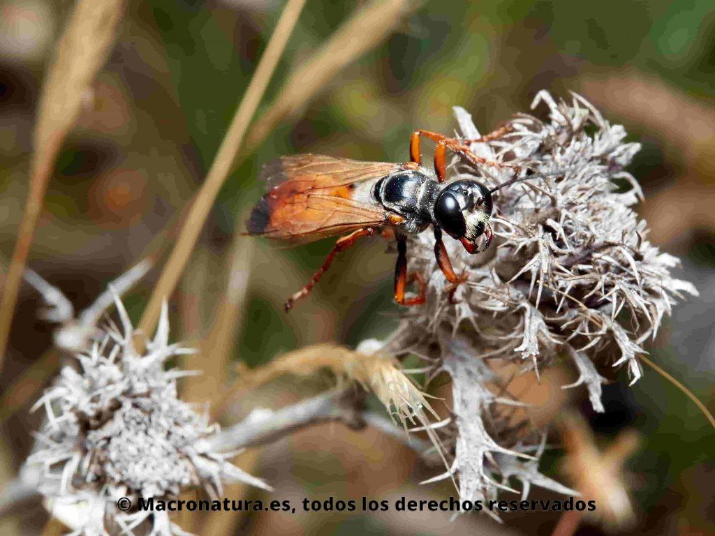 Avispa excavadora Sphex funerarius sobre una planta seca