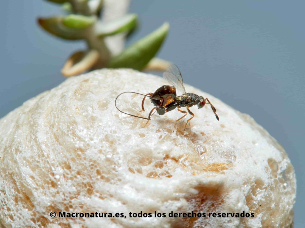 Avispa parasitaria Podagrion Splendens cf. sobre una ooteca de mantis religiosa