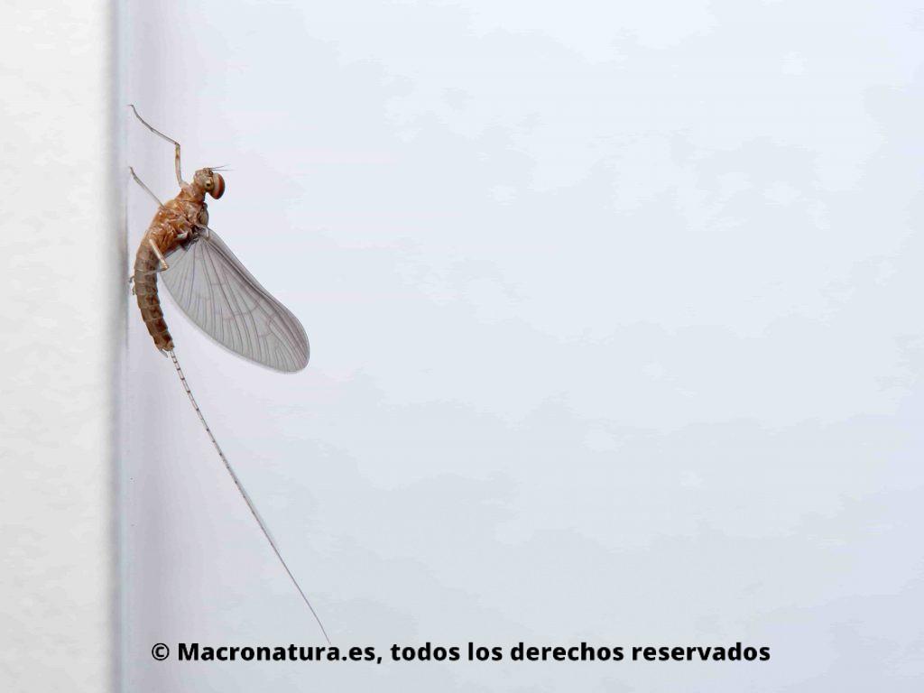Efímeras o cachipollas insectos de vida fugaz en posición lateral en un fondo blanco. Cloeon dipterum