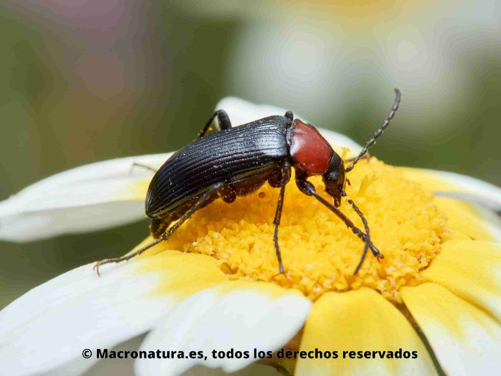 Toro de sol Heliotaurus ruficollis comiendo en una flor de margarita