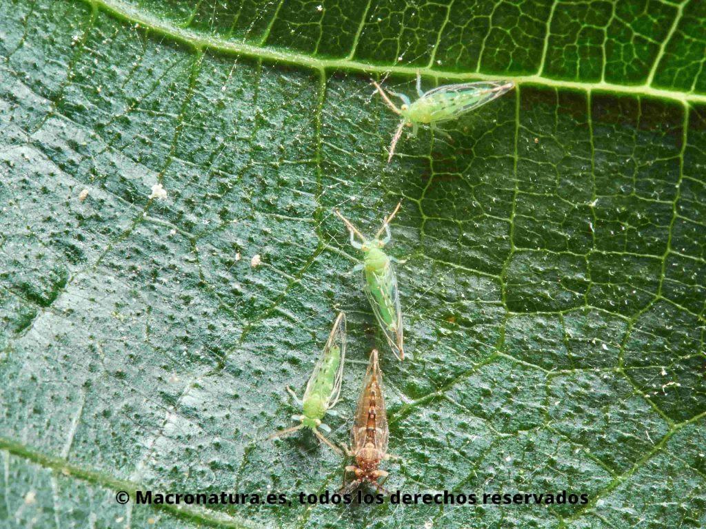 Psila de la higuera Homotoma ficus sobre una hoja de higuera