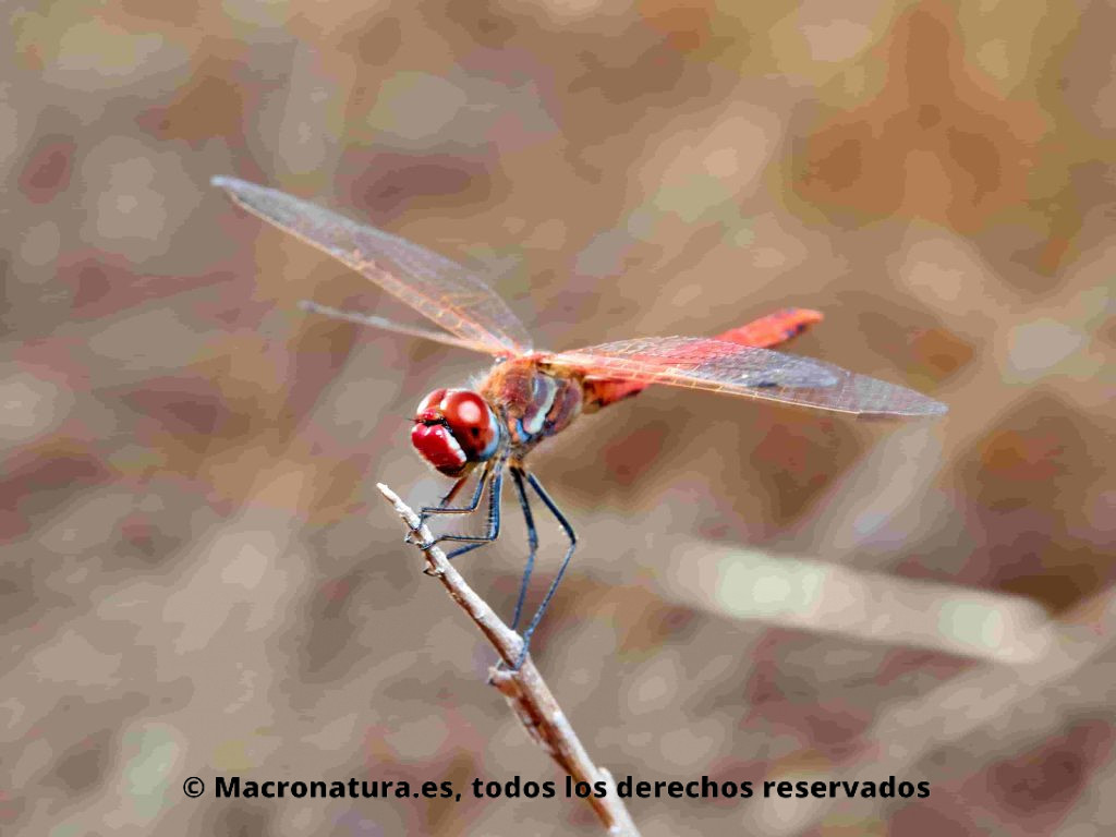 Sympetrum fonscolombii macho adulto.