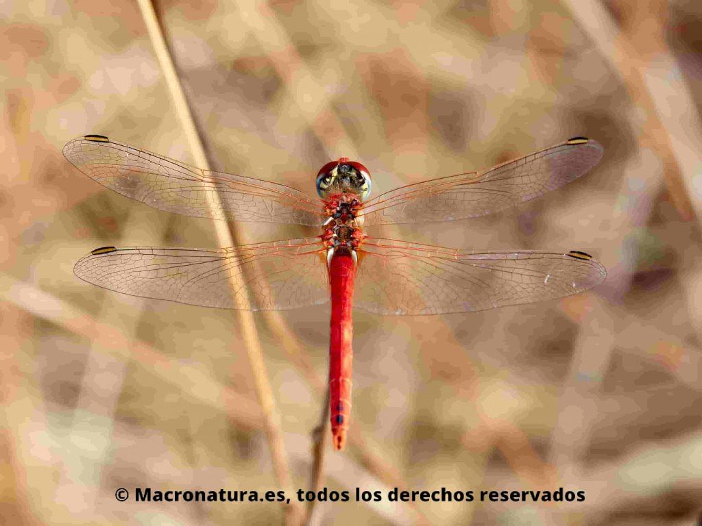 Sympetrum fonscolombii macho. Vista aerea