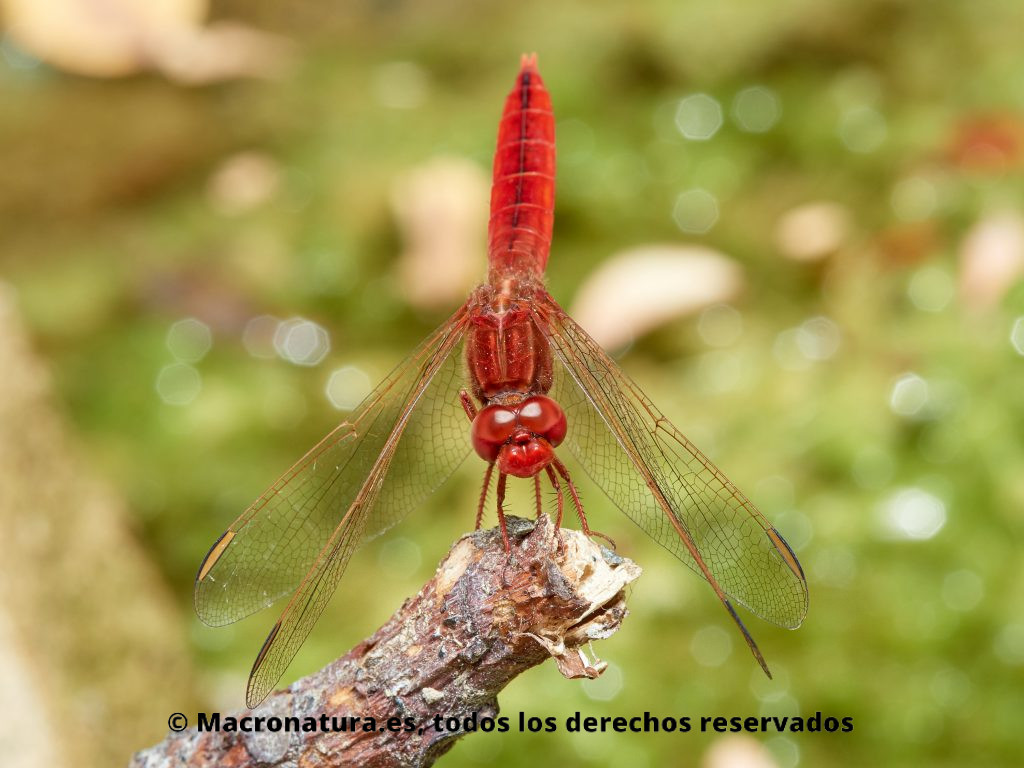 Libélula roja Crocothemis erythraea sobre una percha o tallo. Vista frontal
