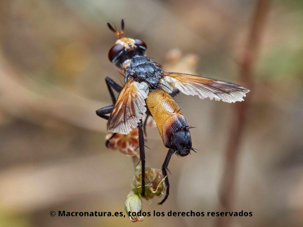 Moscas del género Cylindromyia vista abdomen