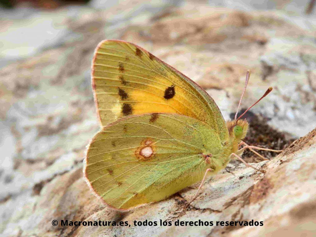 Mariposa Colias crocea sobre una piedra