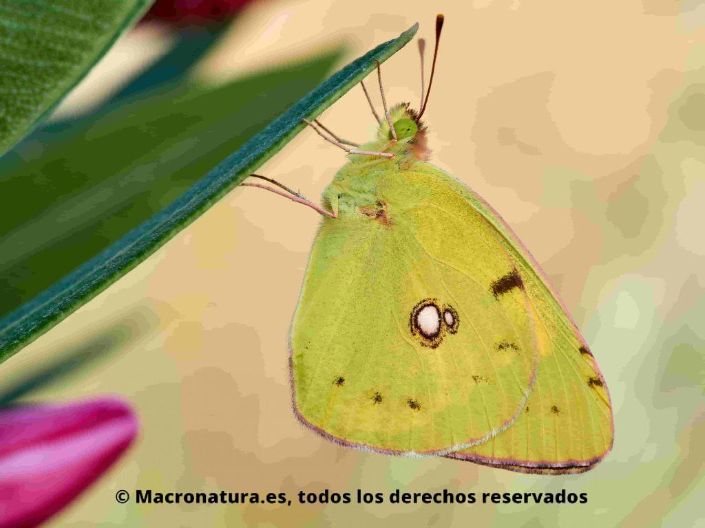 Primer plano lateral de una Mariposa Colias alfacariensis de berger sobre una hoja de adelafa