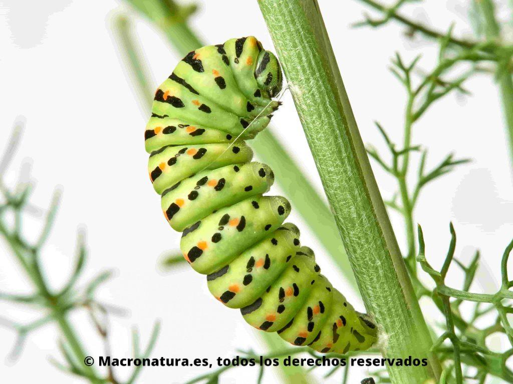 Oruga Macaón o Mariposa rey Papilio Machaon atada a un tallo de hinojo
