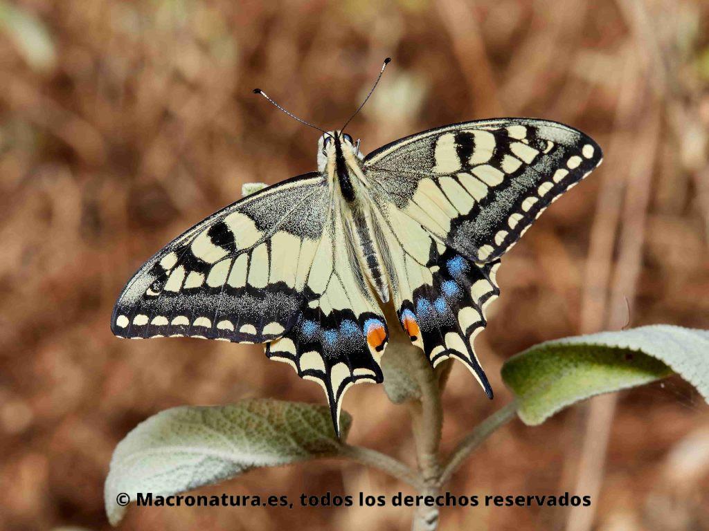 Mariposa Macaón o Mariposa rey Papilio Machaon