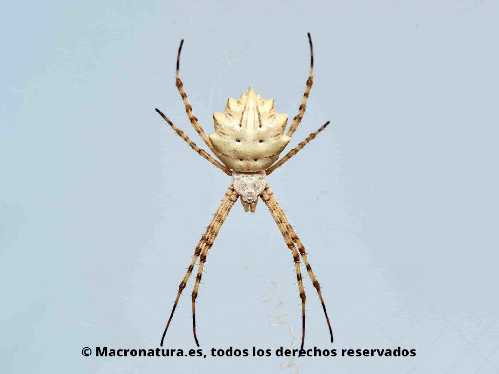 Araña Tigre Argiope Lobata posición dorsal