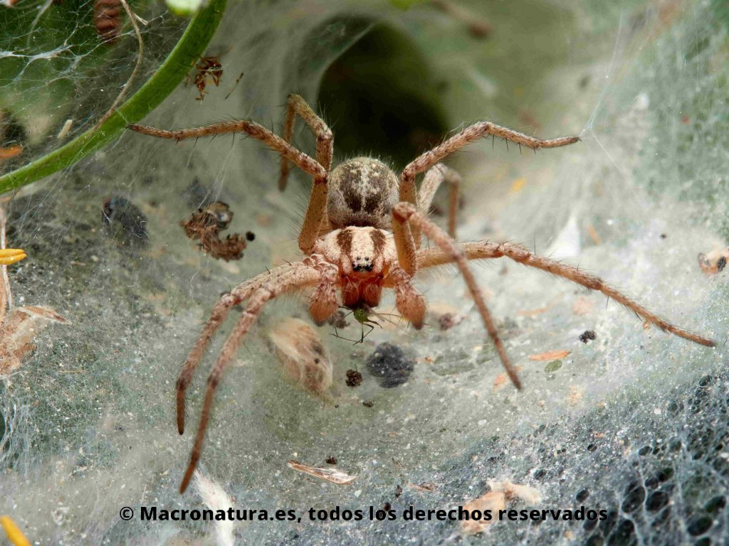 Arañas de túnel género Agelena fuera de su refugio comiéndose un insecto