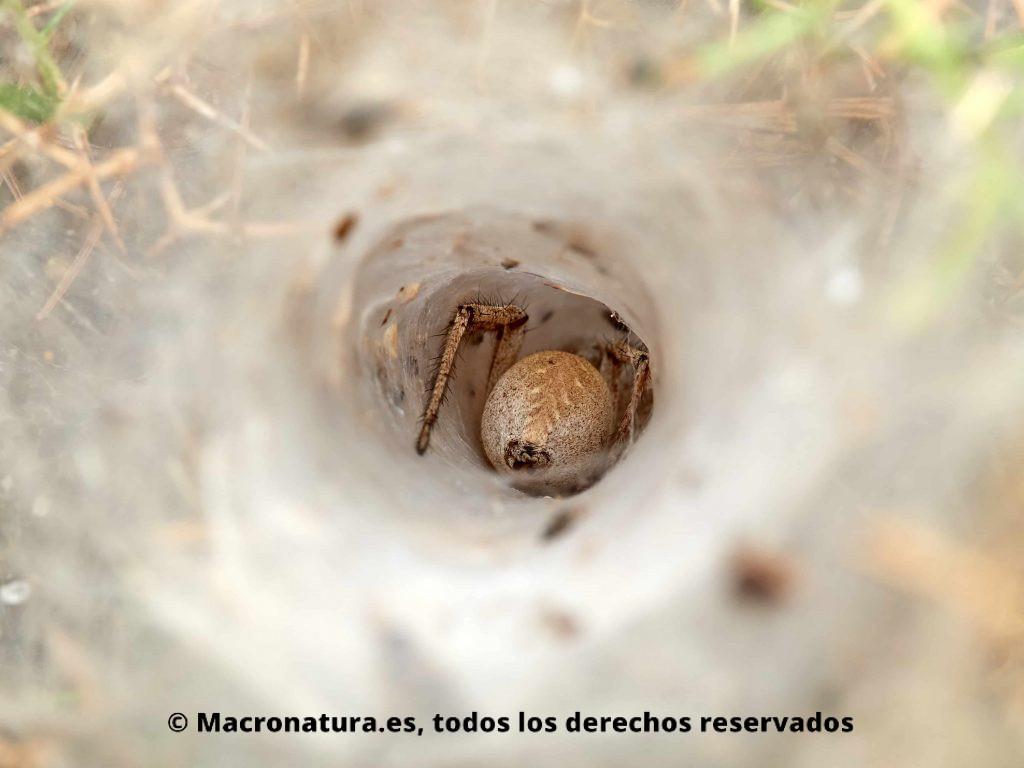 Arañas de túnel género Agelena en su refugio, se observa abdomen
