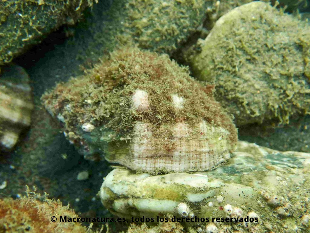 Caracoles marinos Stramonita haemastoma sobre una piedra debajo del agua