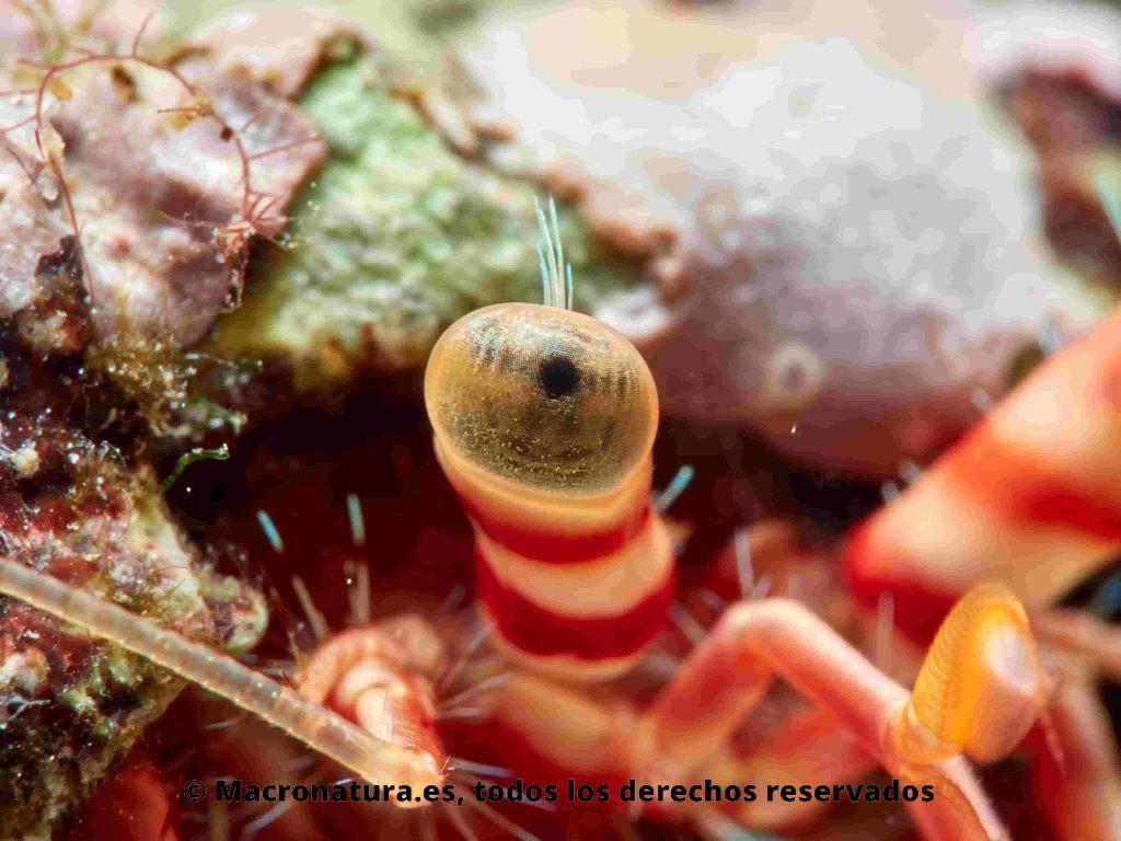 Cangrejos ermitaños Dardanus arrosor detalle de ojo
