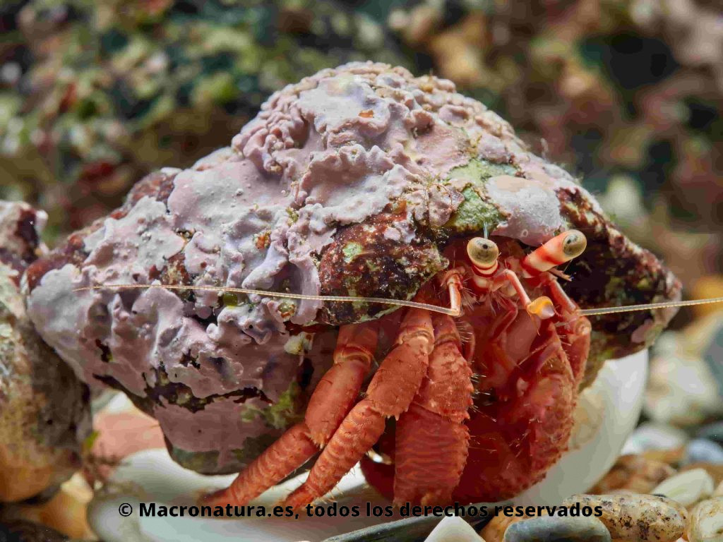 Cangrejos ermitaños Dardanus arrosor en una concha de Caracol marino Stramonita haemastoma
