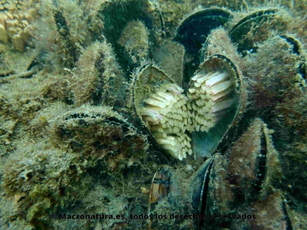 Desove huevos de Caracoles marinos Stramonita haemastoma en la concha de un mejillón