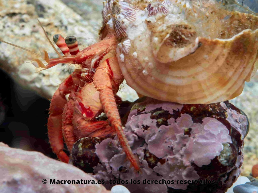 Cangrejos ermitaños Dardanus arrosor tratando de expulsar a otro ermitaño de una concha de Caracol marino Stramonita haemastoma