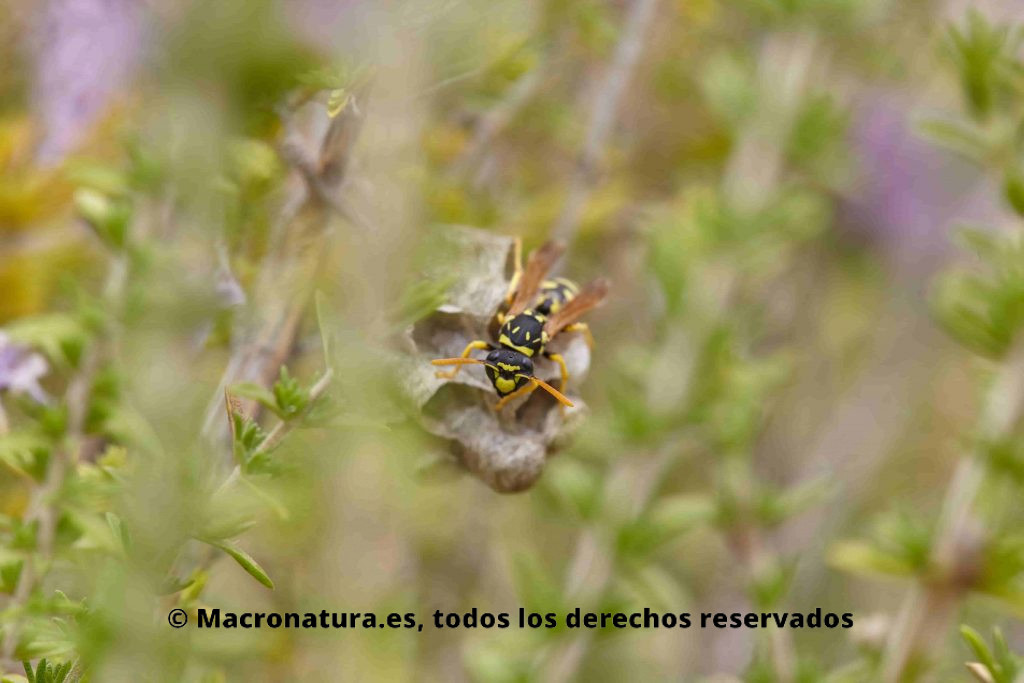 Avispa papelera europea  Género Polistes  entre plantas de romero y un nido