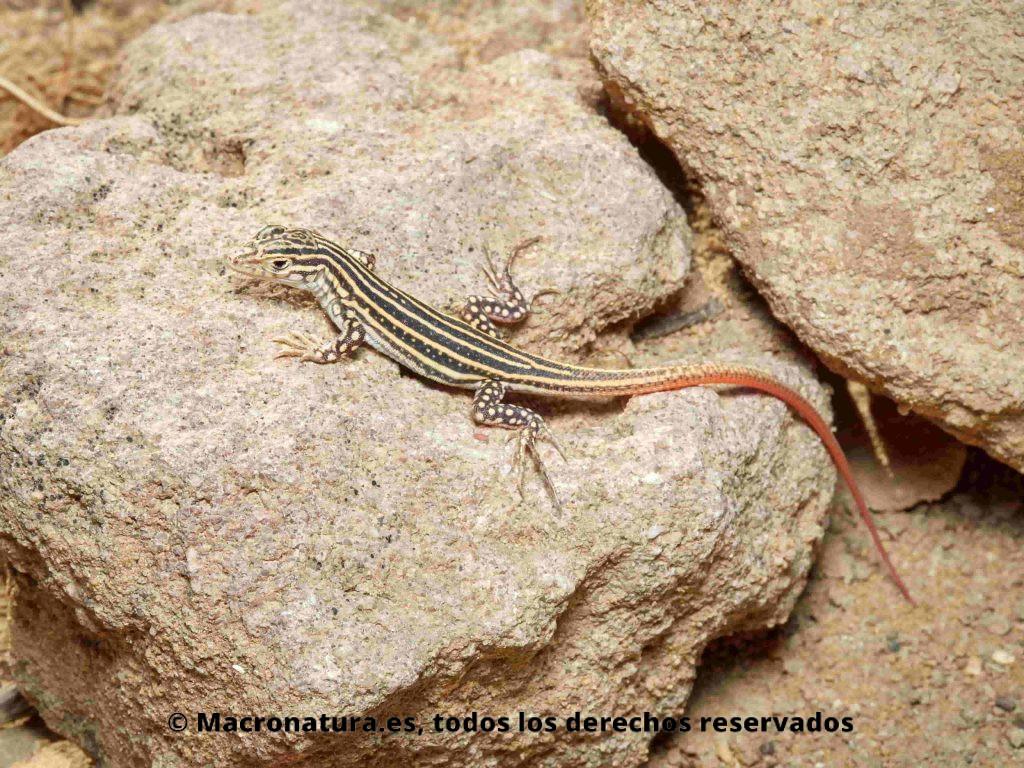 Lagartija colirroja Acanthodactylus erythrurussobre una piedra