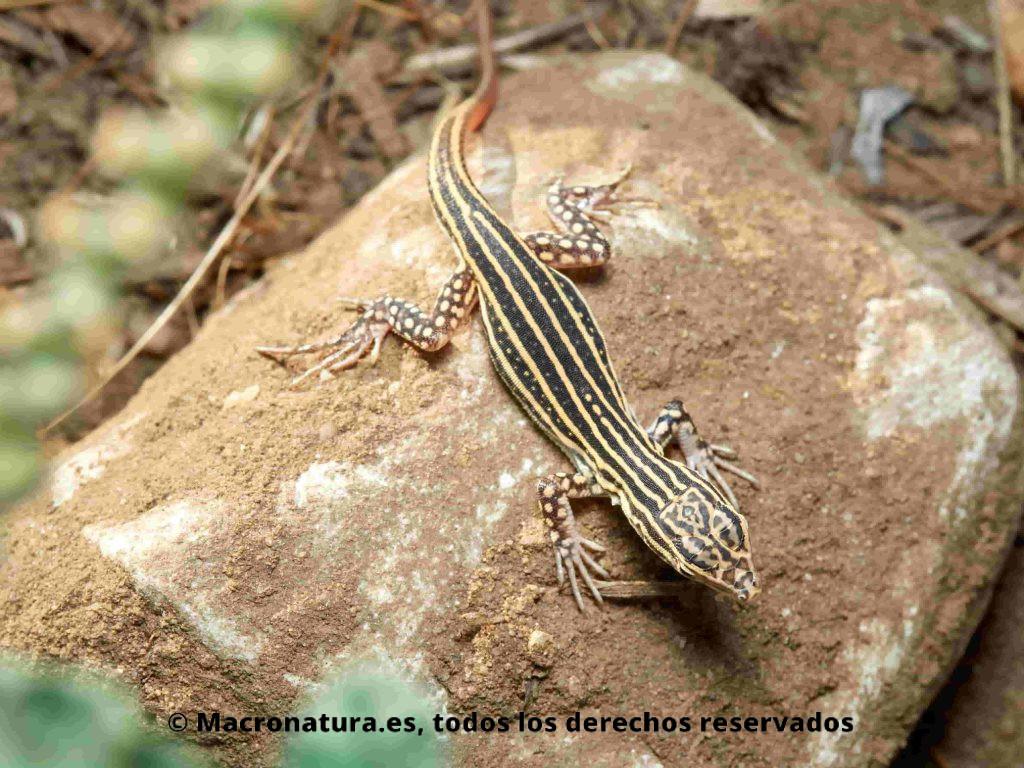 Lagartija colirroja Acanthodactylus erythrurus sobre una piedra