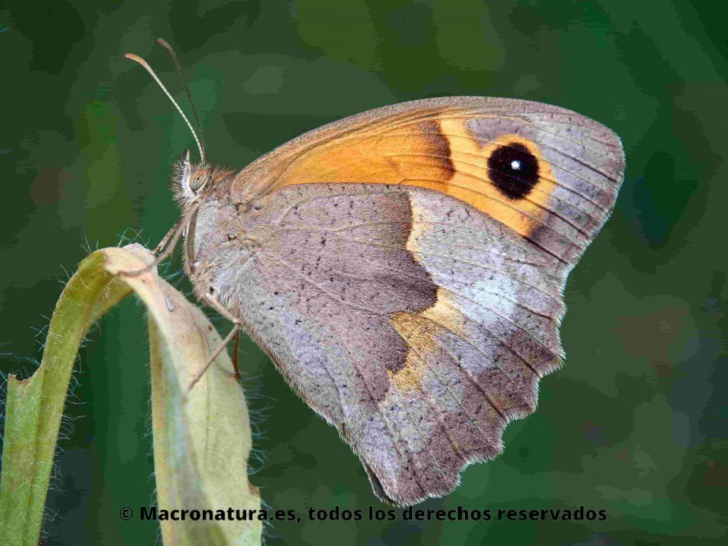 Mariposa Loba Maniola jurtina posición lateral sobre una planta