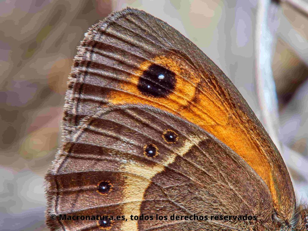 Lobito Listado Pyronia bathseba vista lateral, detalles alas ateriores y posteriores