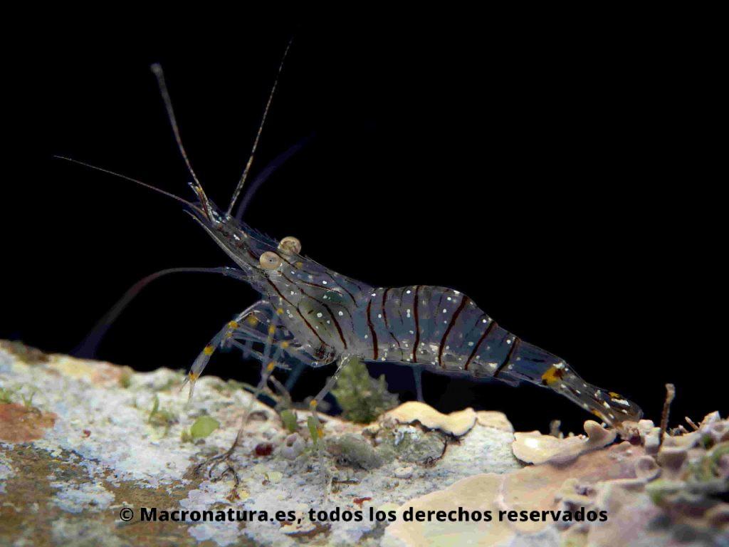Camarón Palaemon serratus sobre un fondo negro