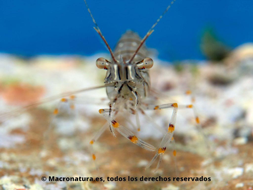 Camarón Palaemon serratus detalle de ojos y patas con pinzas