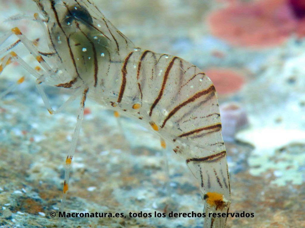 Camarón Palaemon serratus detalle del abdomen.