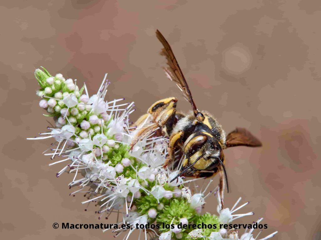 Abeja cardadora Anthidium florentinum sobre una flores recolectando néctar. Detalles ojos