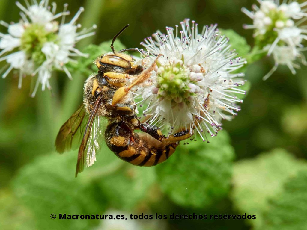 Abeja cardadora Anthidium florentinum sobre una flore recolectando néctar