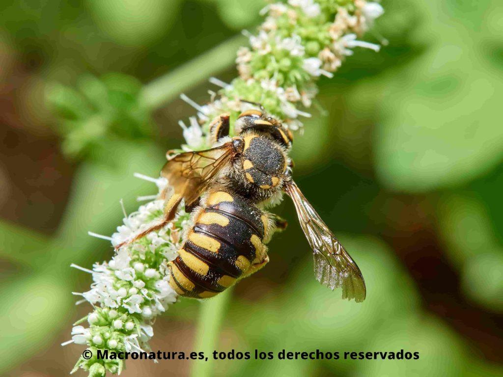 Abeja cardadora Anthidium florentinum sobre una flore recolectando néctar. Detalle de abdomen.