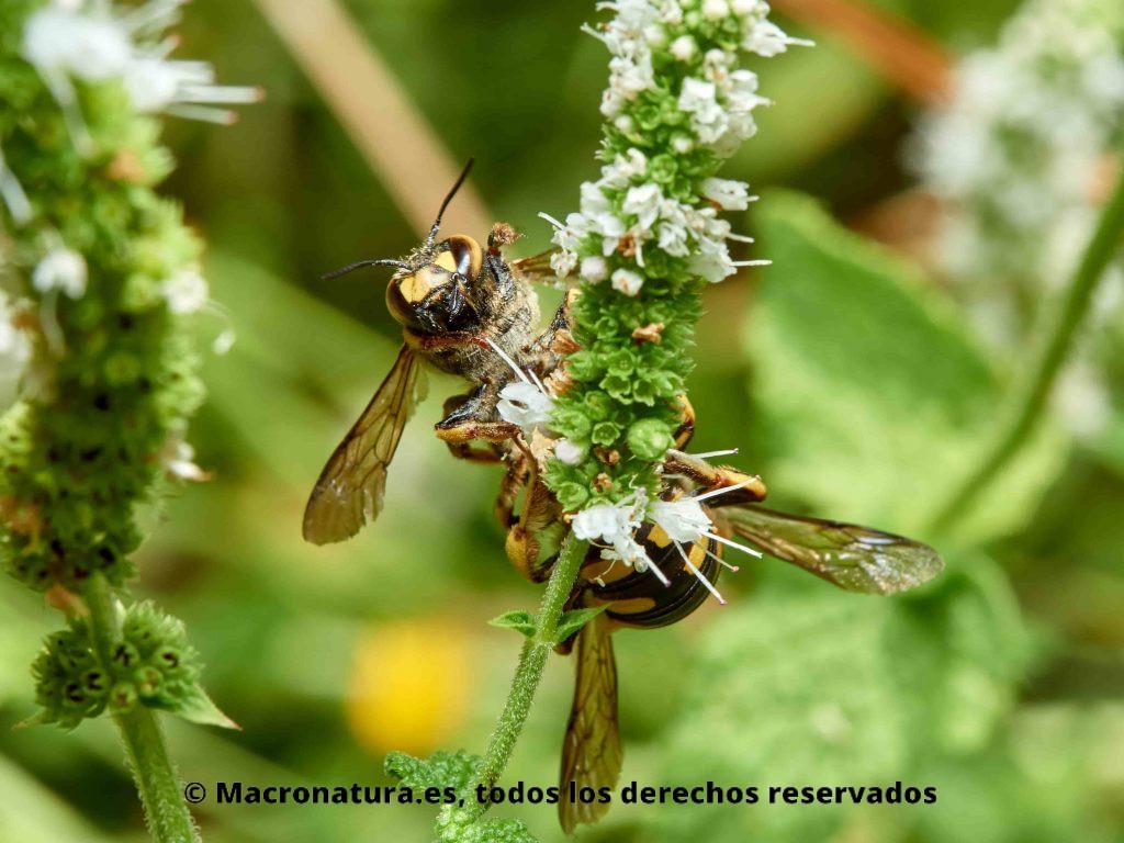 Abeja cardadora Anthidium florentinum copulando