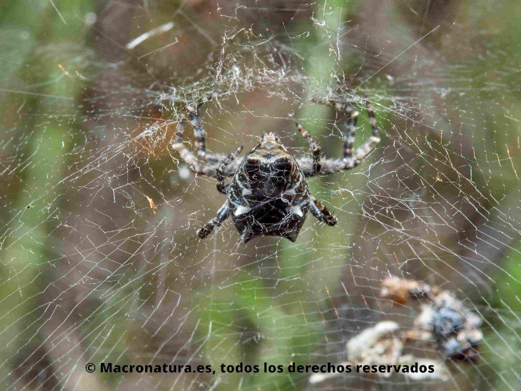 Araña de las chumberas Cyrtophora citricola, detalle abdomen