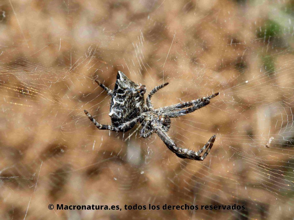 Araña de las chumberas Cyrtophora citricola vista lateral