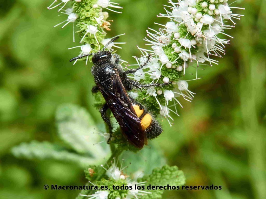 Avispa solitaria Scolia (Discolia) hirta sobre una flor alimentándose